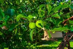Jabloň v záhrade